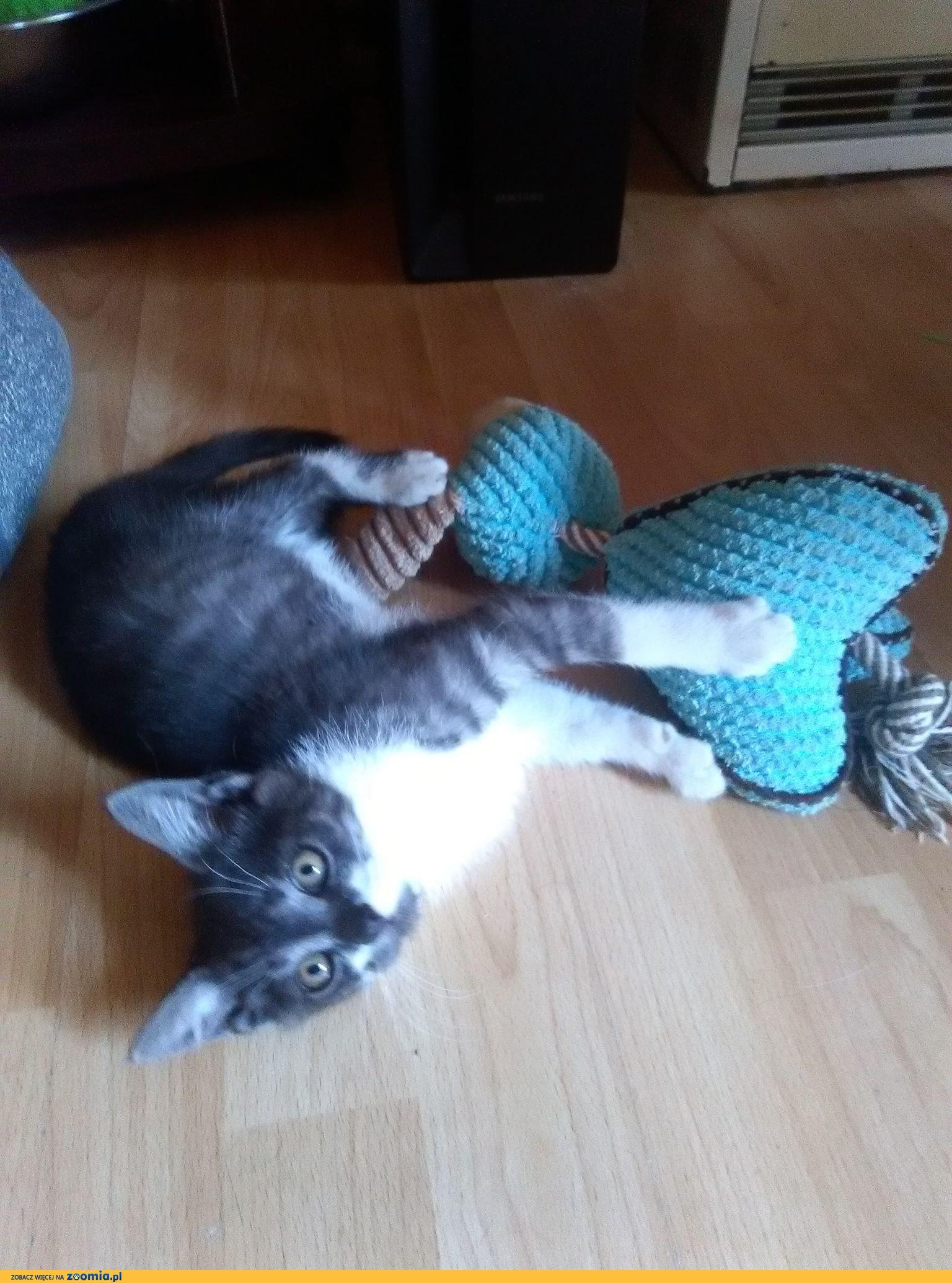 Stefan, 12 miesięczny kociak, zdrowy i wesoły chłopak