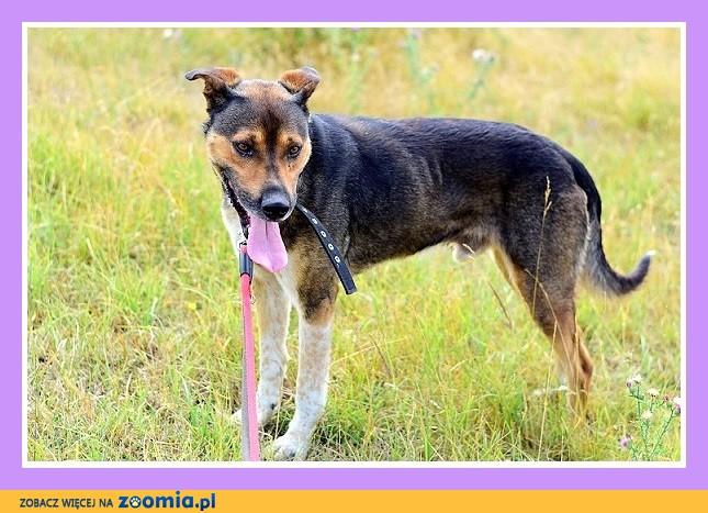 Duży, do domu z ogródkiem, przyjazny,spokojny pies PAZUR_Adopcja