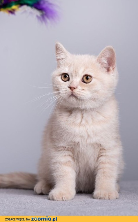 Kocięta Brytyjskie z rodowodem FPL - GOTOWE DO ODBIORU