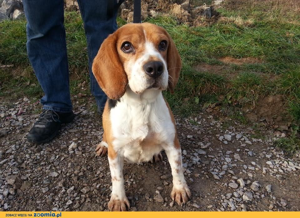 Domu pełnego miłości szuka sunia beagle SOPHIE