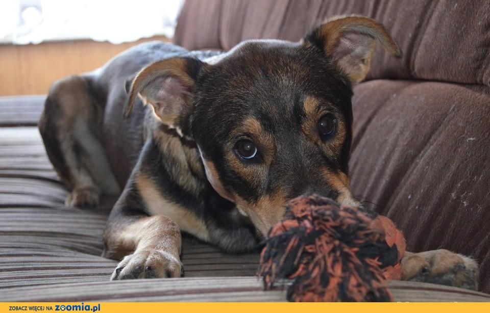 Niespełna roczny psiak, do pilnej adopcji.