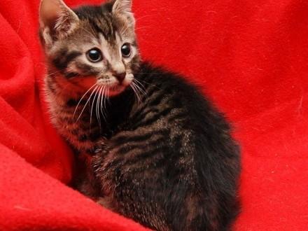 Kociak uroczy Frodo czeka na kochającą rodzinę!   wielkopolskie Poznań