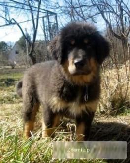 Do-Khyi Tibetan Mastiff Puppies