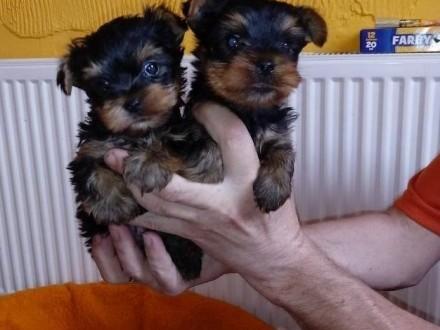 Yorki  Yorkshire Terrier rodowód ZKwP/FCI