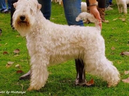 Irish Soft Coated Wheaten Terrier- terier pszeniczny- zapowiedź miotów   Pozostałe rasy cała Polska