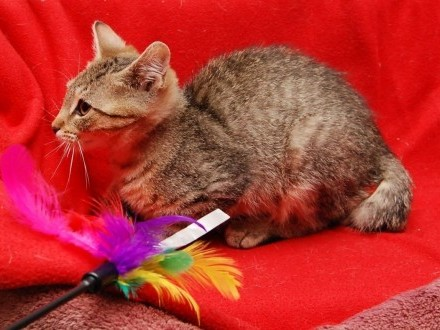 SYRIANA ;#8211; niezwykła kotka szuka swojego człowieka!   wielkopolskie Poznań