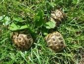 żółw lądowy żółw grecki  Radom Warszawa,  lubelskie Lublin