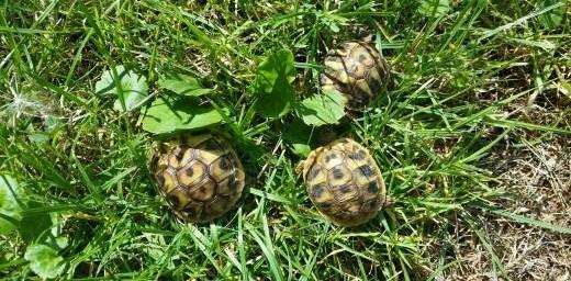 żółw lądowy żółw grecki  Radom Warszawa   lubelskie Lublin
