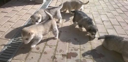 Szczeniaczki alaskan malamute   wielkopolskie Rzeszów