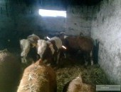 Sprzedam byki Do hodowli lub na export
