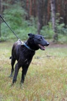 Karbo  piękny pies w typie OWCZARKA szuka domu!