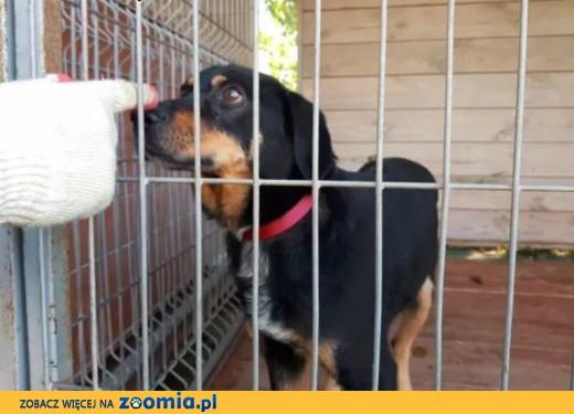 Pies kochający na maxa! Wygląda jak mix labradora i gończego,  lubelskie Lublin
