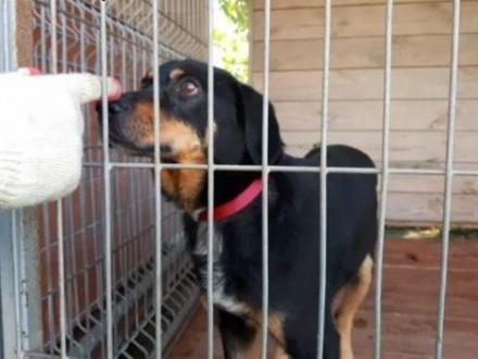 Pies kochający na maxa! Wygląda jak mix labradora i gończego   lubelskie Lublin