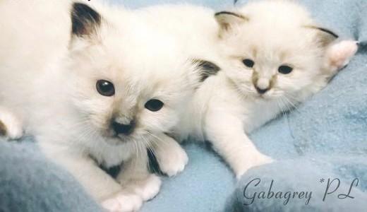 Kot birmański z rodowodem - Hodowla Gabagrey*PL   śląskie Katowice