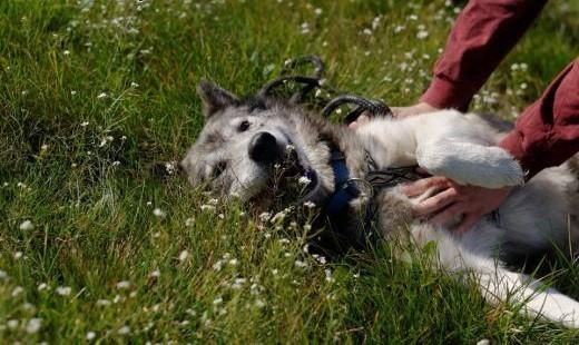 Shaky pies w typie alaskan malamute szuka domu! Adopcja! Malamut!   Kundelki cała Polska