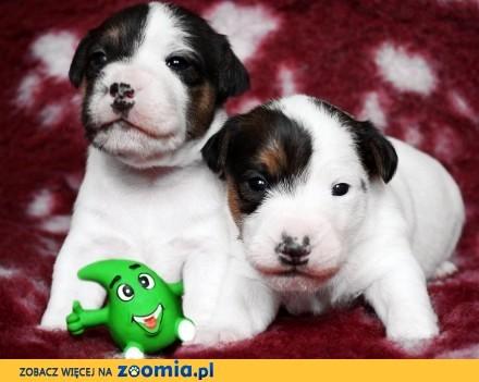 Parson Russell Terrier - hodowla Dwie Twarze  szczenięta !