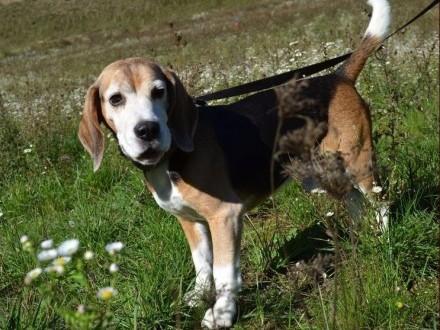 Bagins - kochany pies w typie beagle :)