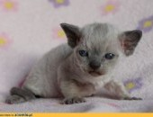 Devon rex sliczne niebieskookie kociaki