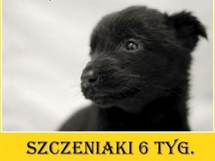6tyg szczeniaki średnie odrobaczone BELGISIEAdopcja   śląskie Katowice