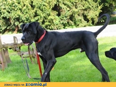 Morgan - w typie Dog Niemiecki do adopcji