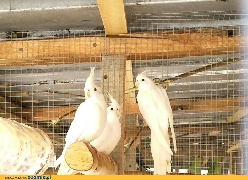 nimfy albino , białogłowe