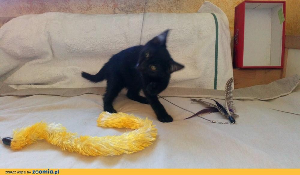 Mały kociak Gizmo szuk adomu