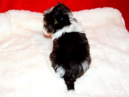 York   Yorki  Cudny piesek BIRO Yorkshire Terrier z rod PFK