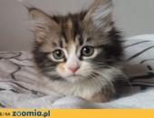 Nina szylkretowa kotka syberyjska,  mazowieckie Warszawa