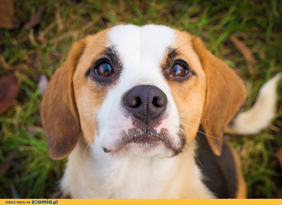 OTOZ Animals - Lucy - młodziutka sunia w typie beagle szuka domu!