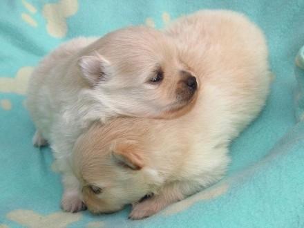 Pomeranian  szpic miniaturowy - kremowe/ śmietankowe maluchy  Warszawa