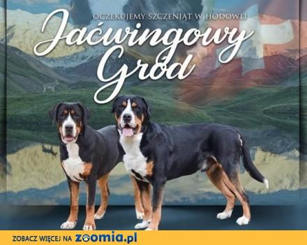 Duży Szwajcarski Pies Pasterski - Szczenięta ZKwP po Chionach