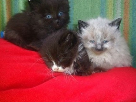 Kociaki Syberyjskie   mazowieckie Garwolin