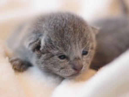 Koteczka Rosyjska Niebieska