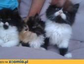 Sprzedam koty perskie 8 tygodni,  śląskie Pszczyna