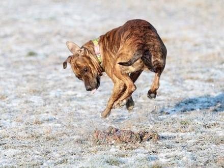 Saba - wychowana z dziećmi  pies rodzinny w typie AST