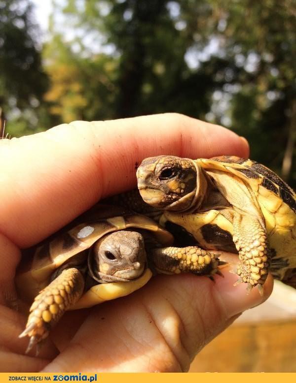 żółwie, żółwiki greckie