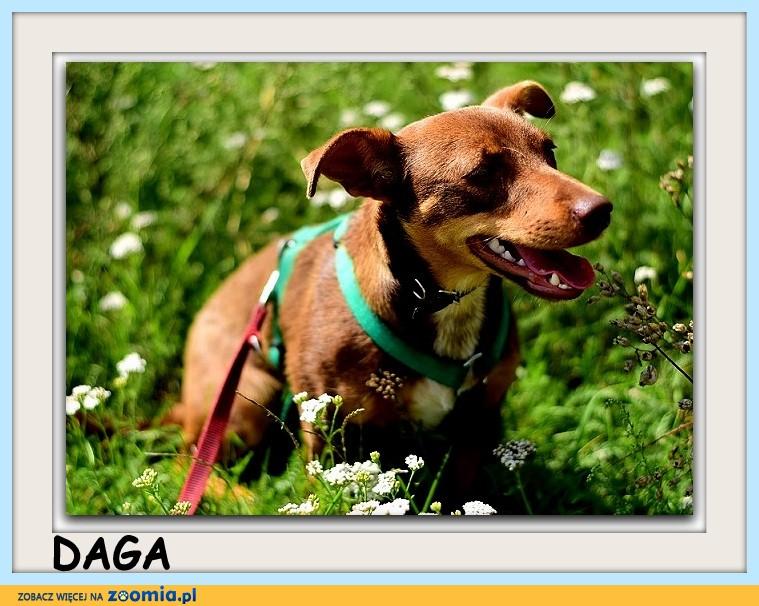 6mies_szczeniak,mała,łagodna,tulaśna,czekoladowa,sterylizowana suczka DAGA_Adopcja