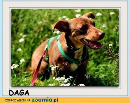 6mies_szczeniak mała łagodna tulaśna czekoladowa sterylizowana suczka DAGA_Adopcja