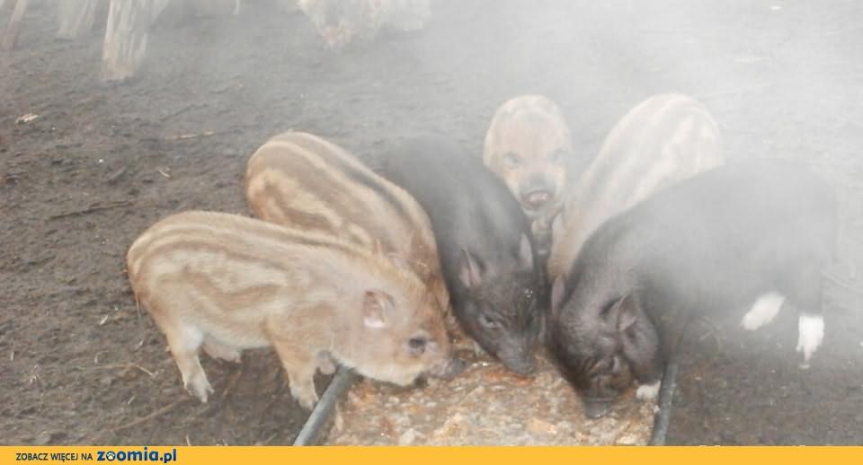 swinio dziki sprzedam,zamienie
