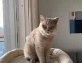 Kot Brytyjski Liliowy- rodowód