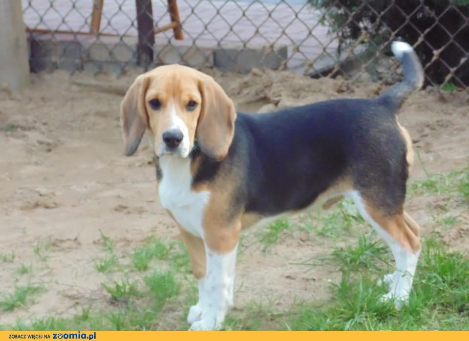 Beagle.Pilne