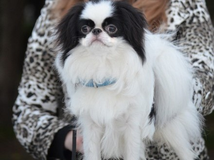 male Japanese chin