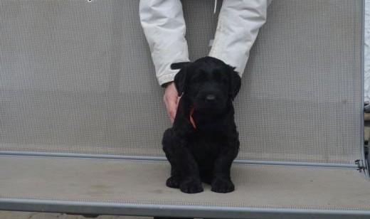 Black Giant Schnauzer Puppies   dolnośląskie Wrocław