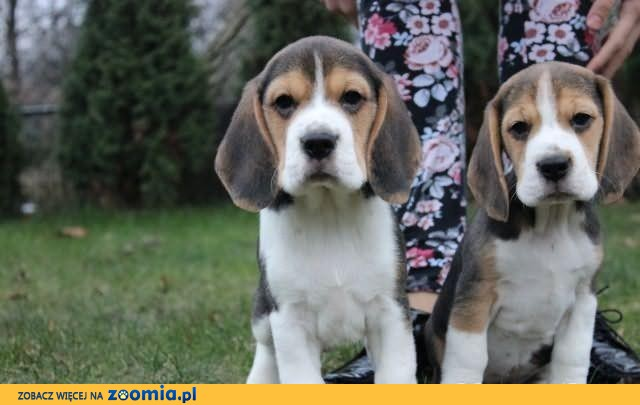Beagle Tricolor z rodowodem ZKwP szczeniaczki              Rodowód