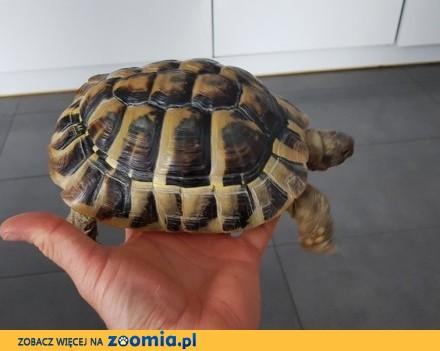 Żółw grecki - samica 20 lat