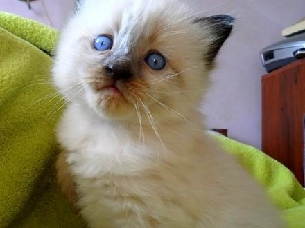 Koty  kocięta syberyjskie neva masquerade :