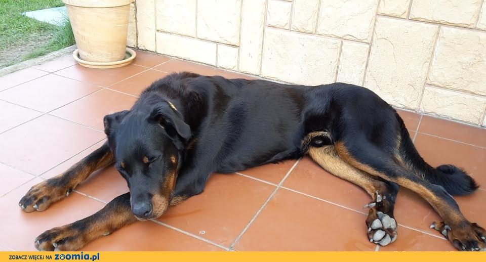 owczarek francuski beauceron 171 oddam psa 171 adopcje