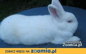 Samiczka - Nowozelandzka Biała (RASOWA)