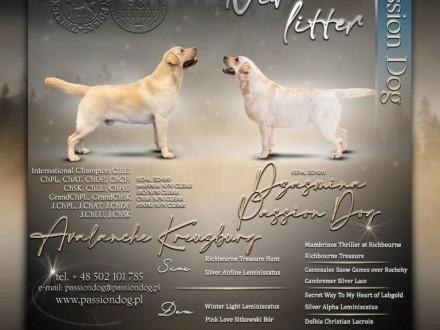 Labrador biszkoptowe szczenięta ZKwP/FCI   Labrador retriever cała Polska
