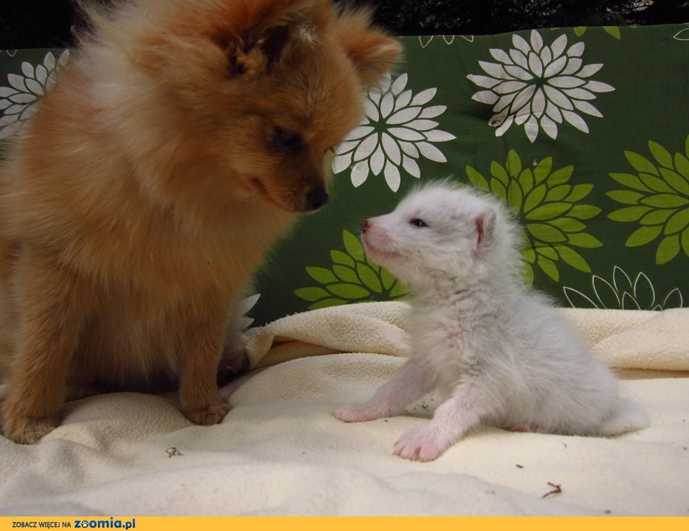 Lis polarny, lisek biały lisy- oswojony samczyk z zar_hodowli domowej